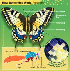 Butterfly Anatomy - HowStuffWorks (For Older Students) Butterfly Facts, Butterfly Photos, Monarch Butterfly, Butterfly Wings, Science For Kids, Science And Nature, Life Science, Insect Anatomy, Western World