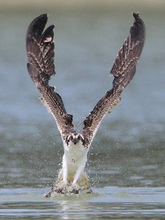 Osprey by Nigel Winnu