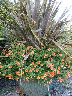 Container Garden: We surrounded this New Zealand flax with my new favorite, Calibrachoa 'Dreamsicle'. It has bloomed non-stop, and the color is great.