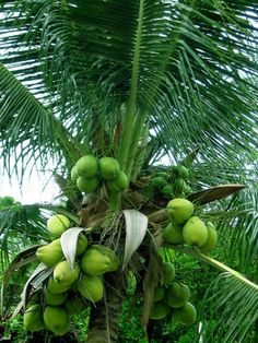 Need to get a coconut tree for my garden to enjoy the many benefits of the fruit