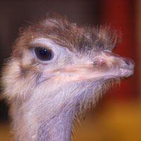 Kouvola ostrich farm