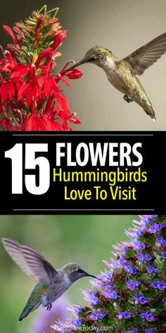 15 Flowers Hummingbirds Love To Visit What flowers do Hummingbirds love? There are dozens of flowers they visit but we share 15 flowers we call their favorites. [LEARN MORE] The post 15 Flowers Hummingbirds Love To Visit appeared first on Flowers Decor. Hummingbird Flowers, Hummingbird Garden, Hummingbird Food, Hummingbird Nectar, Hummingbird Photos, Container Gardening, Gardening Tips, Organic Gardening, Vegetable Gardening