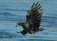 Several juvenile Bald Eagles are testing their fishing and flying skills above the waters at Guntersville Dam.