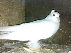 Australian female pigeon for sale Nagercoil - Dog Buy & Sale Pigeons For Sale, Female, Dogs, Animals, Animales, Animaux, Pet Dogs, Doggies, Animal
