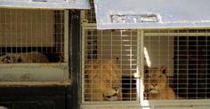 Salvemos a los animales del circo Kaos