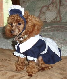 1 year old Teacup Poodle Cinnamon Female Dressed as a French Maid.