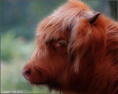 Smudge Painted Highland Cattle Scottish Highland Cow, Highland Cattle, Scottish Highlands, Art Of Living, Cows, Beast, Artworks, Creativity, Digital