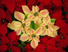 Poinsettias // by John Pettigrew, Moncton, ON