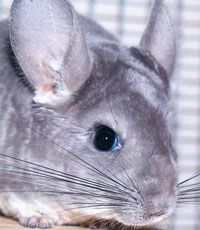 Five Steps to a Healthy Chinchilla