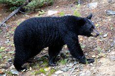 Medvěd Baribal je středně velký druh,ketrý má domov v Severní Americe.Je všežravec,pobývá v hustých lesech.Někdy zabloudí do lidských obydlí.Baribal často označuje stromy svými zuby a drápy.Společnost IUCN baribala nepovažuje za ohrožený druh.          Zdeněk Komorous:)