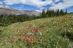 https://flic.kr/p/yytatT | La montagne, ça vous gagne | Alpine meadows above Peyto Lake, Banff national park