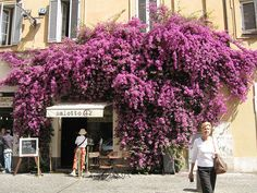 maybe this is what your's will look like soon!  #wisteria