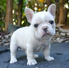 Snow white frenchie baby French Bulldog Puppy