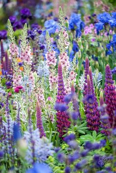 Lupines with Verbascum | ©️️ Jacky Parker Photography