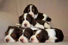 Springer Spaniels - A pyramid of perfection! ♡