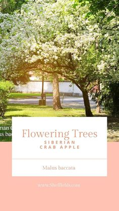 One of the hardiest species of Malus genus, this beautiful crab apple tree explodes with with showy Apple Tree Yard, Apple Tree From Seed, Small Yard Landscaping, Landscaping Plants, Fruit Trees, Fruit Flowers, Fruit Fruit, Spring Flowering Trees, Love Garden