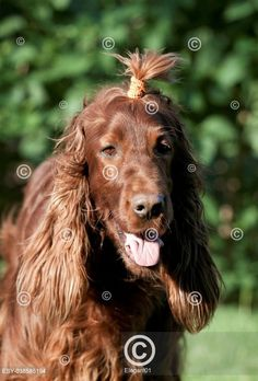 Irský setr Funny long-haired red Irish Setter Dog Lovers, Lion Sculpture, Long Hair Styles, Pets, Animals, Funny, Google, Irish Setter, Irish Language