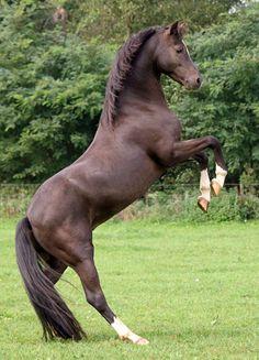 Welsh Pony section B gelding, Willow Tree Amigo.