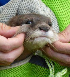 Otter Yamato's Cheeks Are So Pinchable