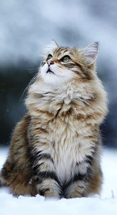\It is with the approach of Winter that cats wear their richest fur and adopt an air of sumptuous and delightful opulence.\ --Peter Loti