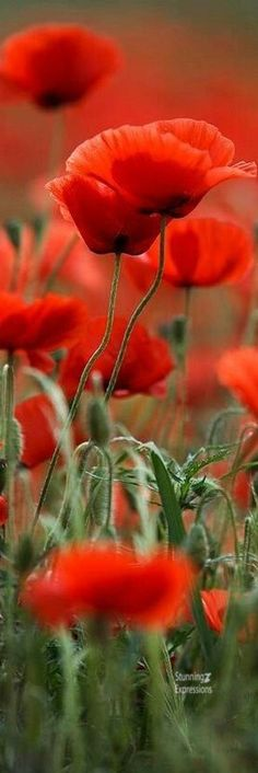 Most Beautiful Flowers In The World We Top . Flowers Nature, Wild Flowers, Flower Beds, Flower Art, Most Beautiful Flowers, Beautiful Pictures, Red Poppies, Flower Photos, Geraniums