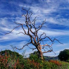 An old dead lifeless tree against an amazing sky in Sussex.. #tree #deadtree #branches #colour #nature #southeast #england #sussex #agriculture #bikeride #contrast #summer #farm #southdowns #nationaltrust #beautyspot