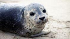 A vida das focas Os filhotes nascem já sabendo nadar,  pelo prazo de cerca de um mês, eles ficam com as mães, até adquirirem gordura suficiente para garantir o calor do corpo