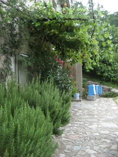 Garden with Rosemary bush.  A short post on this lovely herb