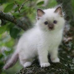 Birman Kitten