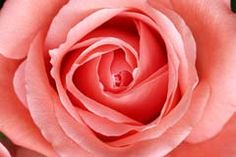 Salmon rose-for the dresser??