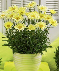 Zahradní kopretina ´Banana Cream´. Leucanthemum superbum. Velké, žluté květy dodají zahradě pravou letní atmosféru. V průběhu kvetení se barva proměňuje od zářivé citronově žluté až po krémově banánovou. Vaše zahrada tak bude pokaždé trochu jiná! Květy nakvétají vytrvale po celé léto. Řezané ve váze vydrží až 3 týdny. Stanoviště : plné slunce. Doba kvetení: červenec-srpen. Výška: až 35 cm. Vhodná k řezu.