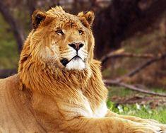 Liger – Wikipedia