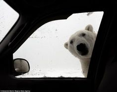 A polar bear staring into the passenger side of Alexandre Martina's car, pictured. Mr Martina's was on holiday in Churchill, Canada indulging in some wildlife photography when one of the curious animals decided to say hello