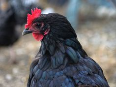 Healthy Green Kitchen How To Keep Your Chickens Laying Eggs In Winter » Healthy Green Kitchen