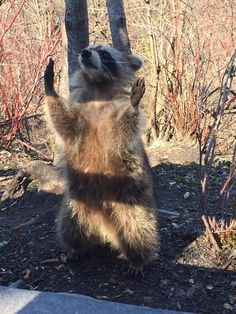 PsBattle: Raccoon praising the old gods and the new.