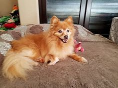 10 yr. old Pomeranian Dog for adoption at K9 Spirit Organization, Fountain Valley, California - Hendricks is special needs being diabetic & vision umpared.