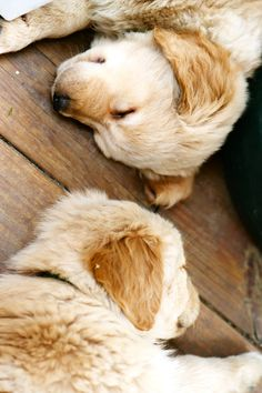 Sleeping goldens