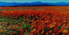 Namaqualand, South Africa – Mountains in the background, fields of beautiful wildflowers at your feet, peace and quiet. Namaqualand is home to over 3,500 species of flowers that carpet the land and produces more beauty than the tulip fields of Holland. You get all the beauty with the added benefit of avoiding the tourist traffic jams of Holland.