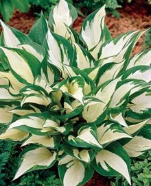 Hostas - Loyalist Hosta