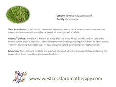 Vetiver Description, History, Extraction West Coast Aromatherapy - Google+