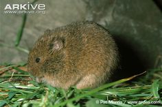 The Orkney vole! The Orkney vole is a subspecies of the common vole and is found only in Orkney. It is larger than the common vole, and is similar in appearance to the field vole but has shorter paler fur. Like all voles it has a stocky body with a blunt, rounded snout.