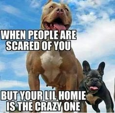 Pit Bull Dogs Pitbull Owners World Wide - Funny Animal Memes, Cute Funny Animals, Funny Animal Pictures, Funny Dogs, Funny Humor, Funny Bulldog, Cute Puppies, Cute Dogs, Frenchie Puppies