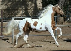 Sun Kisses - Saddlebred mare