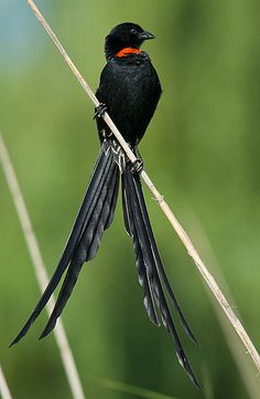 Red-collared Widowbird, weaver family