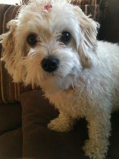 Cavachon Paislee fresh out of her bath :) Cute puppy dog
