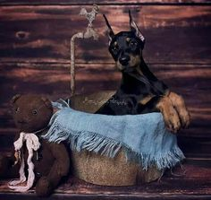 The Doberman Pinscher is among the most popular breed of dogs in the world. Known for its intelligence and loyalty, the Pinscher is both a police- favorite Doberman Rescue, Doberman Love, Doberman Pinscher, Doberman Puppies, Doberman Shepherd, Companion Dog, Best Dog Breeds, Animal Books, Working Dogs