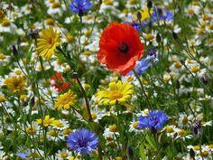 Wildflower Meadow | Herbs & Wild Flowers | Pinterest