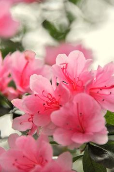 The azaleas bloom every spring at the same time in a beautiful array of colors!