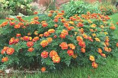 Deadhead annual flowers to keep them blooming