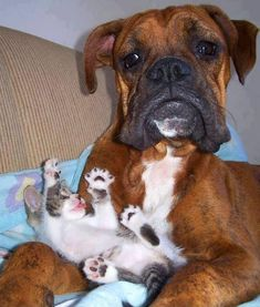 Must be typical of the breed.  My boxer was always so gentle with babies and kittens.